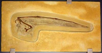 Isolierter Flugarm von Rhamphorhynchus gemmingi (Abguss)