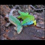 Zöldgyík pár