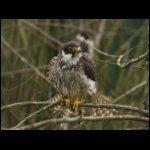 Falco subbuteo [Kabasólyom]
