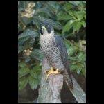 Falco peregrinus [Vándorsólyom]