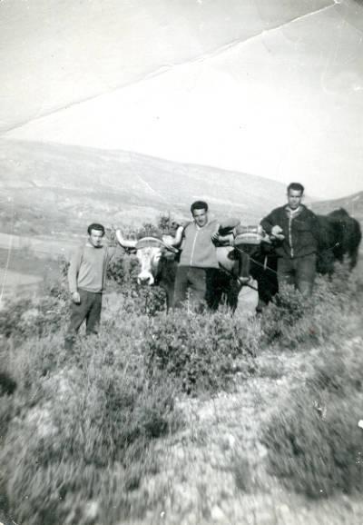 Fotografia de tres guardes forestals als anys 60 a Camarasa, fent terrasses amb bous.