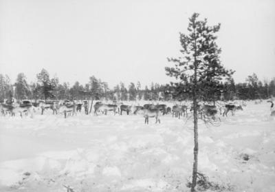 Reinflokk nær Vaggetem, Pasvik.
