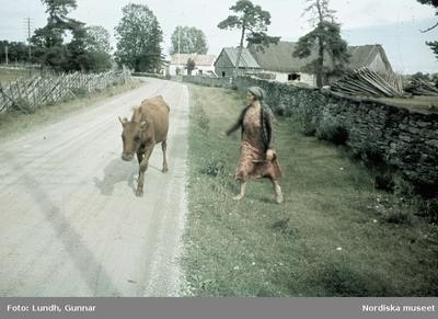 En kvinna föser en ko längs en grusväg.