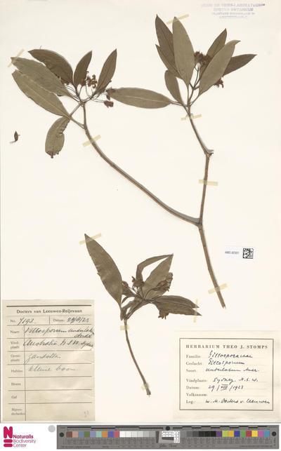 Pittosporum undulatum Vent.