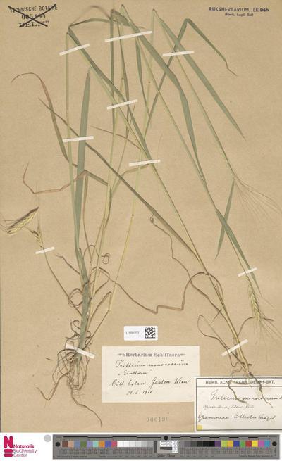 Triticum monococcum L.