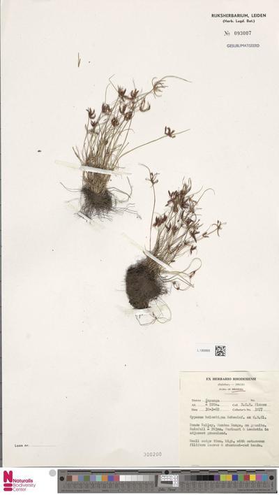 Cyperus holostigma C.B.Clarke ex Schweinf.