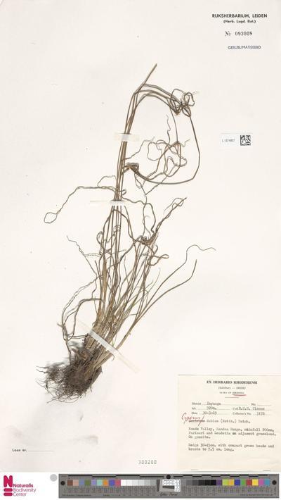 Cyperus dubius Rottb.