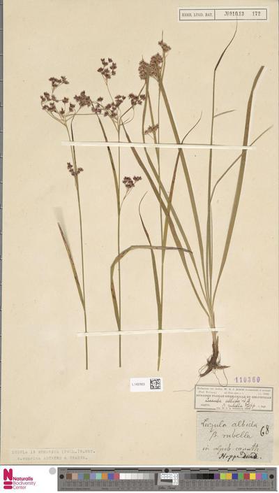 Luzula nemorosa E.Mey. var. cuprina A. & G.