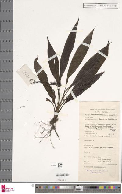 Curculigo latifolia Dryand.
