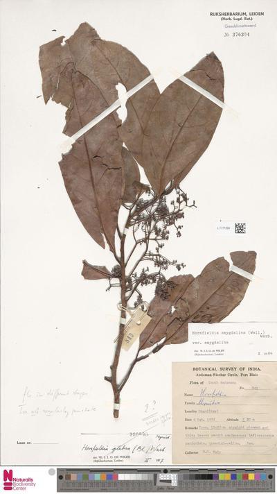 Horsfieldia amygdalina (Wall.) Warb. var. amygdalina