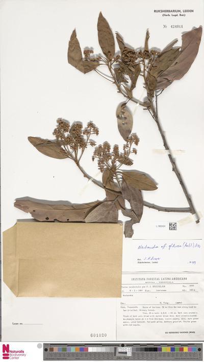 Nectandra globosa (Aubl.) Mez