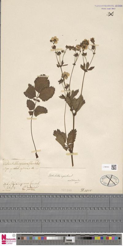 Potentilla rupestris L.