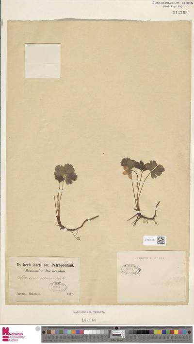Waldsteinia ternata (Stephan) Fritsch