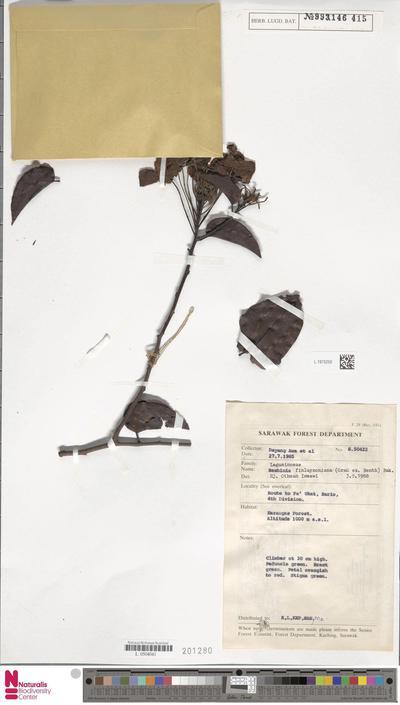 Bauhinia finlaysoniana (Graham ex Benth.) Baker