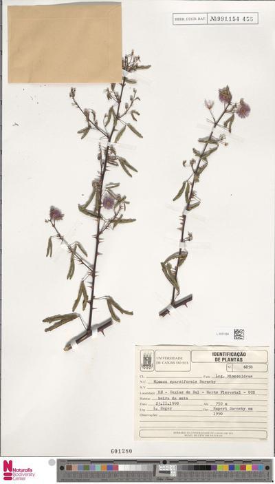 Mimosa sparsiformis Barneby