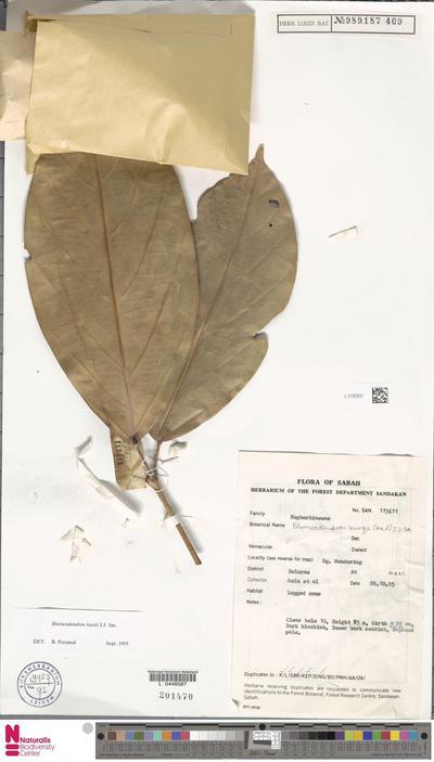 Blumeodendron kurzii (Hook.f.) J.J.Sm.