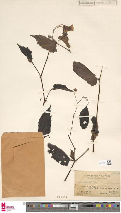 Begonia merrittii Merr.