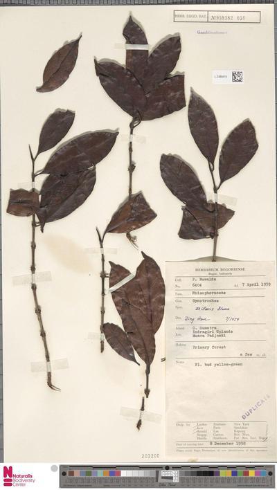 Gynotroches axillaris Blume