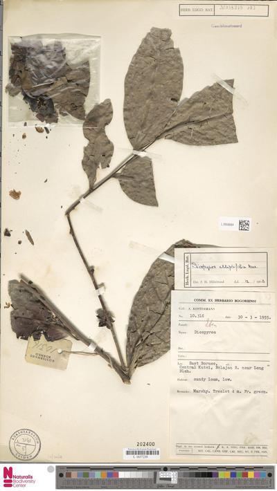 Diospyros elliptifolia Merr.