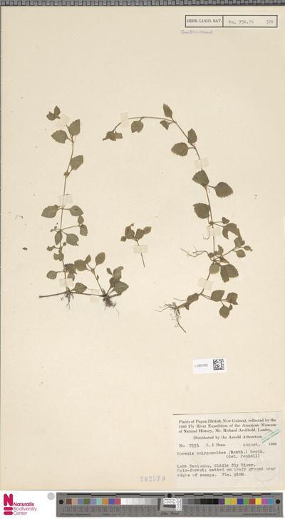 Torenia polygonoides Benth.
