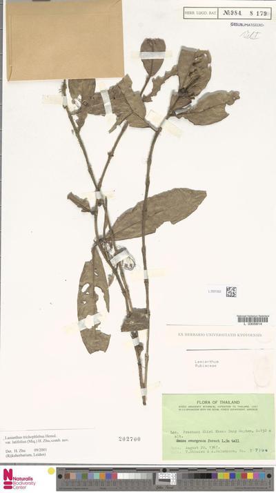 Lasianthus trichophlebus Hemsl. var. latifolius (Miq.) H.Zhu