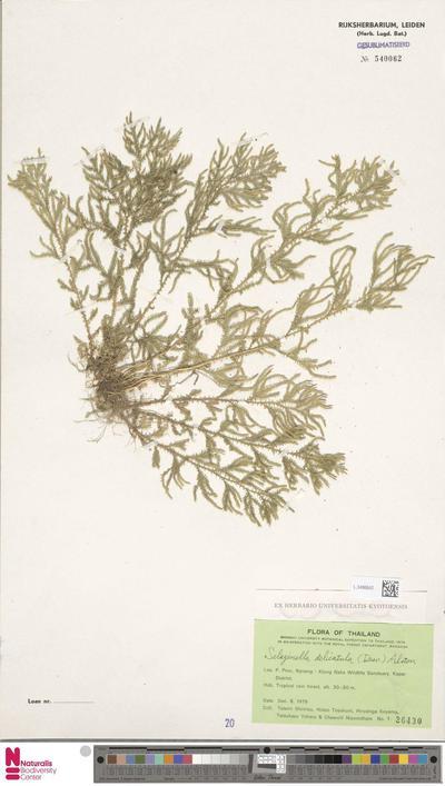 Selaginella delicatula (Desv. ex Poir.) Alston