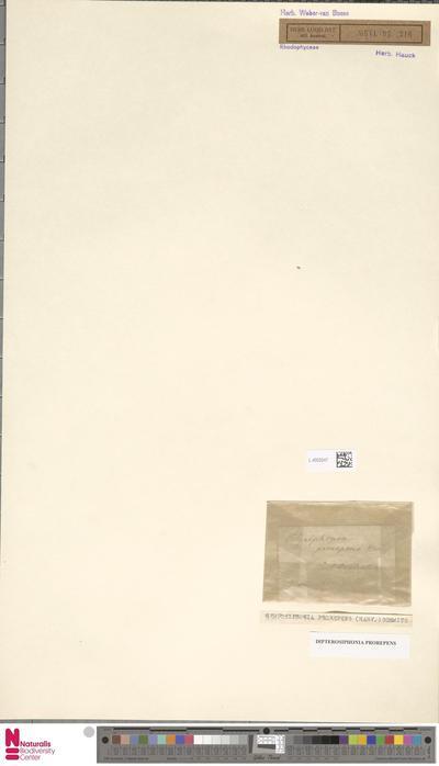 Dipterosiphonia prorepens (J.Agardh) Falkenb.
