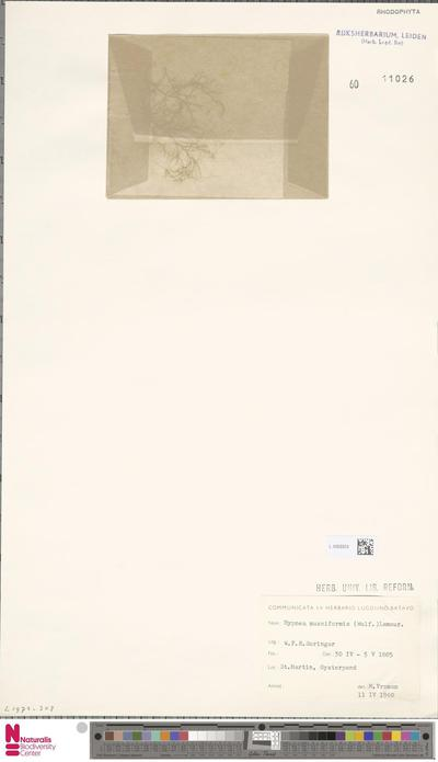 Hypnea musciformis (Wulfen) J.V.Lamour.