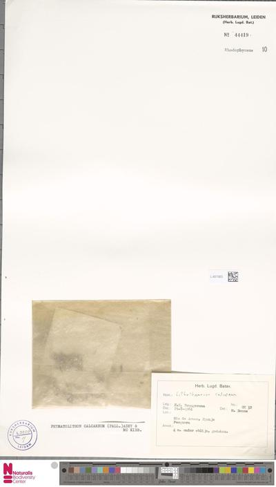 Phymatolithon calcareum (Pall.) W.H.Adey & D.L.McKibbin