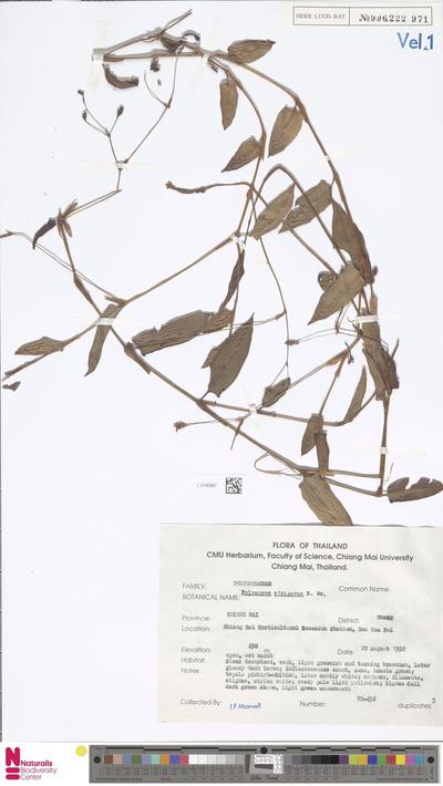 Polygonum strigosum R.Br.