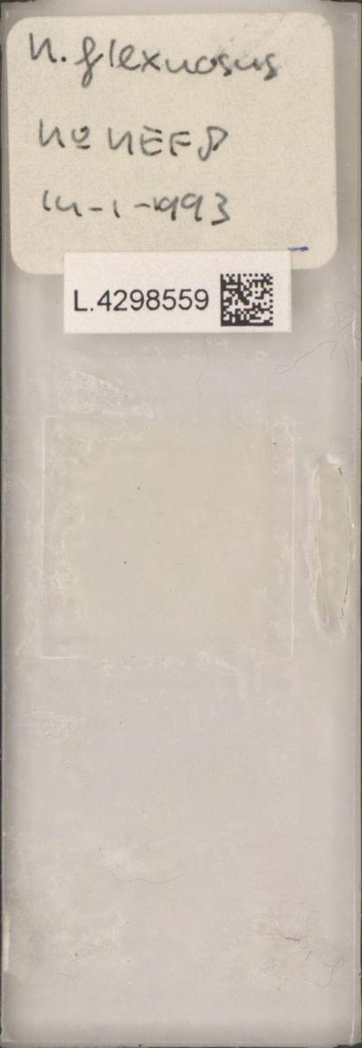 Nemacystus flexuosus (C.Agardh) Kylin