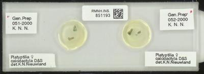 Platyptilia calodactyla D&S