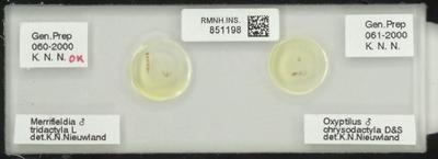 Oxyptilus chrysodactyla D&S