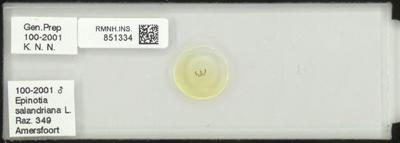Epinotia salandriana L