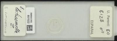 E. luticomella Z