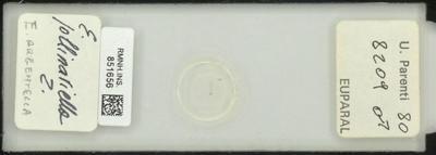 E. argentella