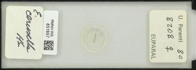 E. cerusella HS.