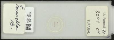 E. cerusella Hb.