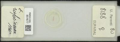 E. rufolinerea Hw