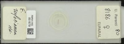 E. rufocinerea Hw