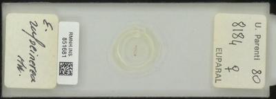 E. rufocinerea U, Parenti 80