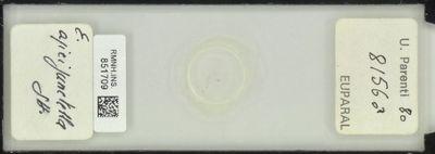E. apicipunctella Stt.