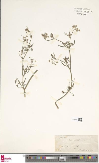 Apium prostatum Labill. ex Vent.