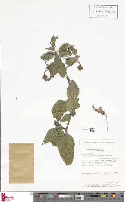 Siphocampylus rusbyanus Britton