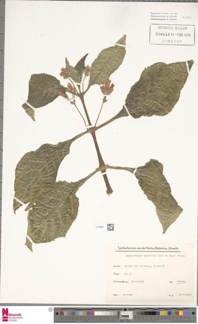 Chrysothemis pulchella (Donn ex Sims) Decne.