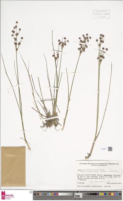Juncus alpinoarticulatus Chaix subsp. fischerianus (Turcz.) Hämet-Ahti