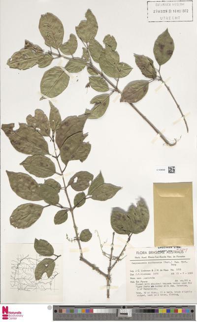 Campomanesia xanthocarpa O.Berg
