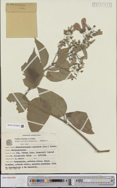 Banisteriopsis muricata (Cav.) Cuatrec.