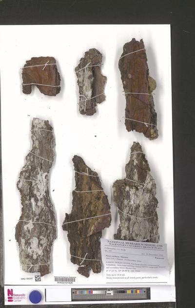 Pinus caribaea Morelet
