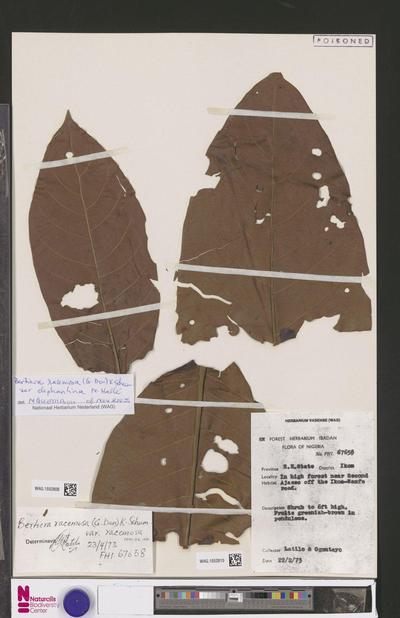 Bertiera racemosa (G.Don) K.Schum. var. racemosa